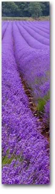 lavender3b