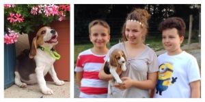 Beagle Puppy, Puppy, Beagle,