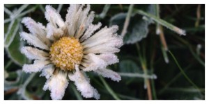 Frost, daisy, lawn, winter, France