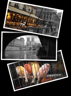 Paris, Bird market, canary, Notre Dame, Les Deux Palais, café, café parisien