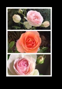 2016_06_11-roses
