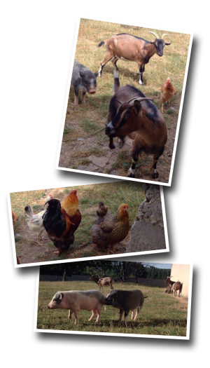 chickens, goats, pigs, poultry
