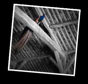 _peacock1-barn