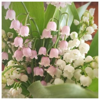 Lily of the Valley to celebrate May 1st.