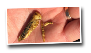 mealworms and grasshopper as human food