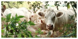 cows, herd, cattle, france,