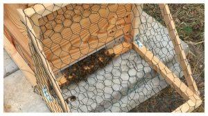 asian hornet, frelon asiatique